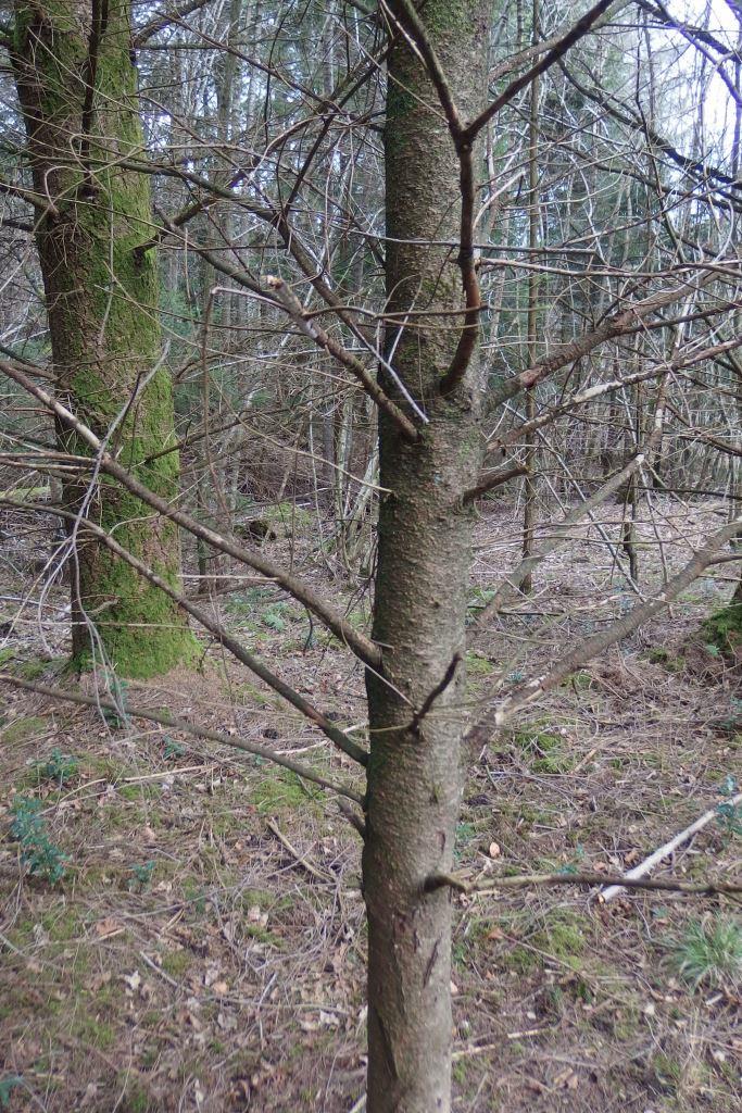 différents pins et sapins