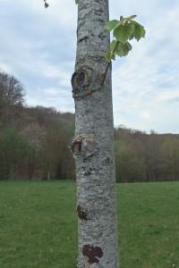 ce tilleul à été émondé pour que le tronc monte droit et haut, on voit les yeux qui vont peu à peu disparaître