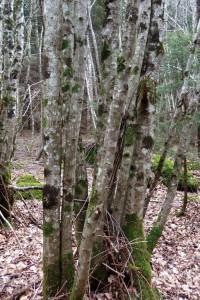 ces charmes en rejets sont presque droits et qui conviennent pour le forestage (mais peu courants)
